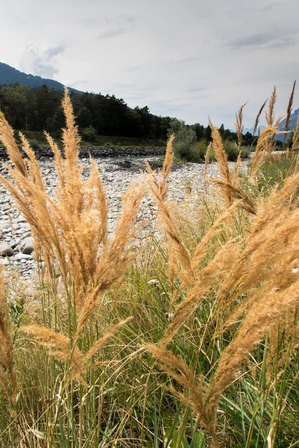 河莱茵河的河岸有后边岩石的和漂流木头和黄色沼泽草和山 免版税图库摄影