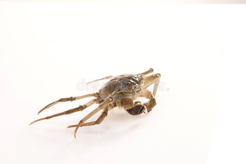 河螃蟹-一中国螃蟹 免版税库存照片