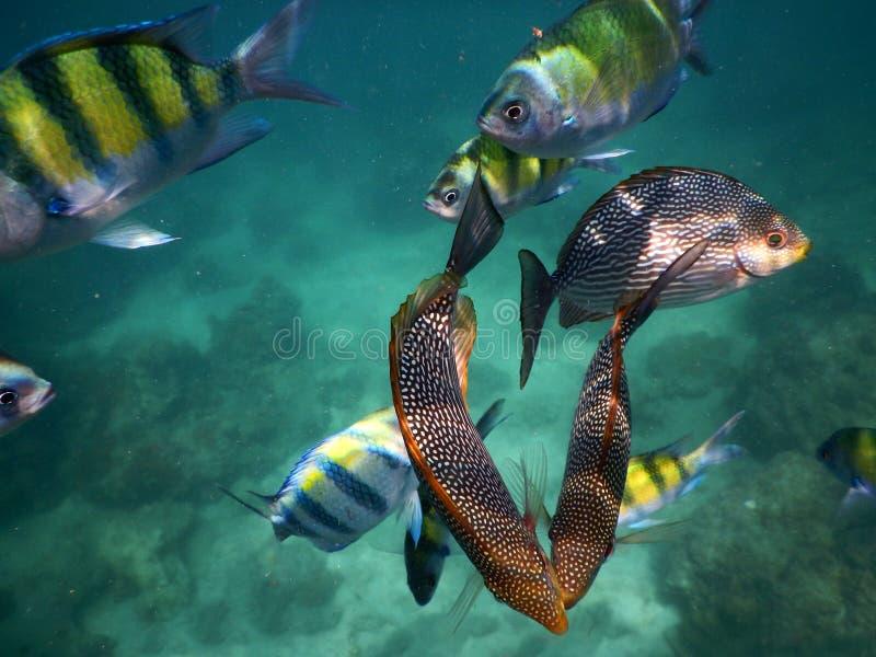 河豚和军士长热带鱼 免版税库存图片