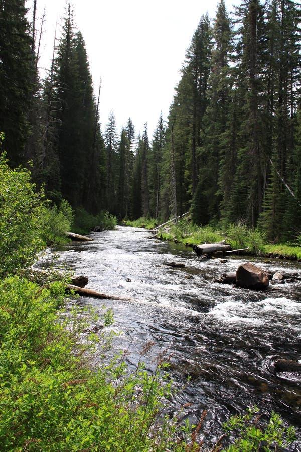 河通过杉木森林 免版税库存图片