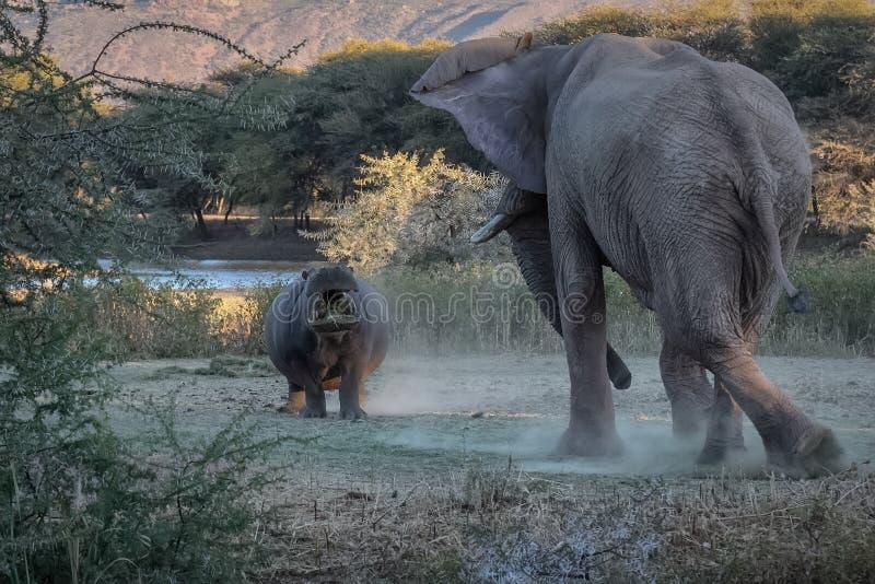 河马和大象战斗 免版税库存照片