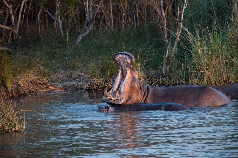 河马哈欠在南非圣卢西亚 免版税库存照片