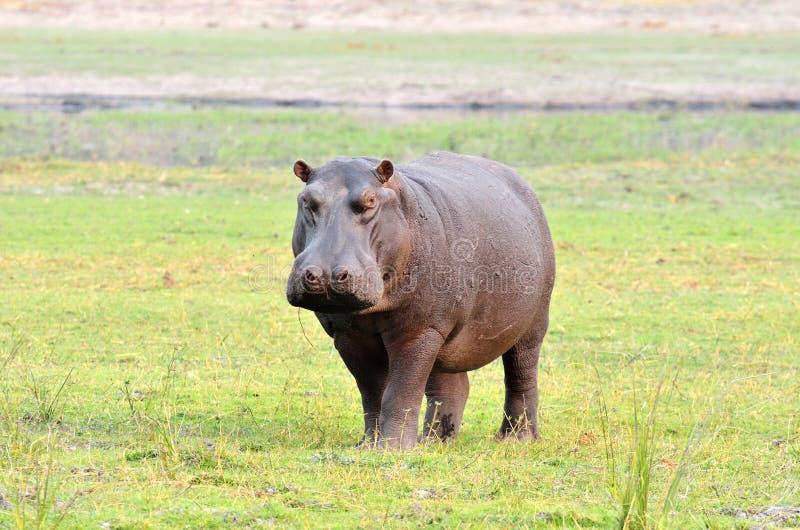河马在乔贝国家公园,博茨瓦纳 免版税库存图片