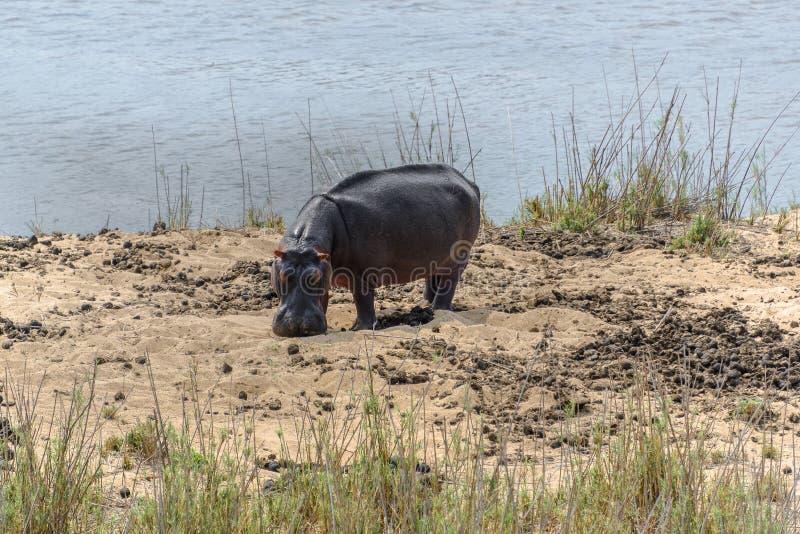 河马在克留格尔国家公园,南非 库存照片