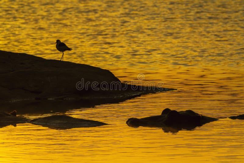 河马在克鲁格国家公园,南非 免版税库存照片