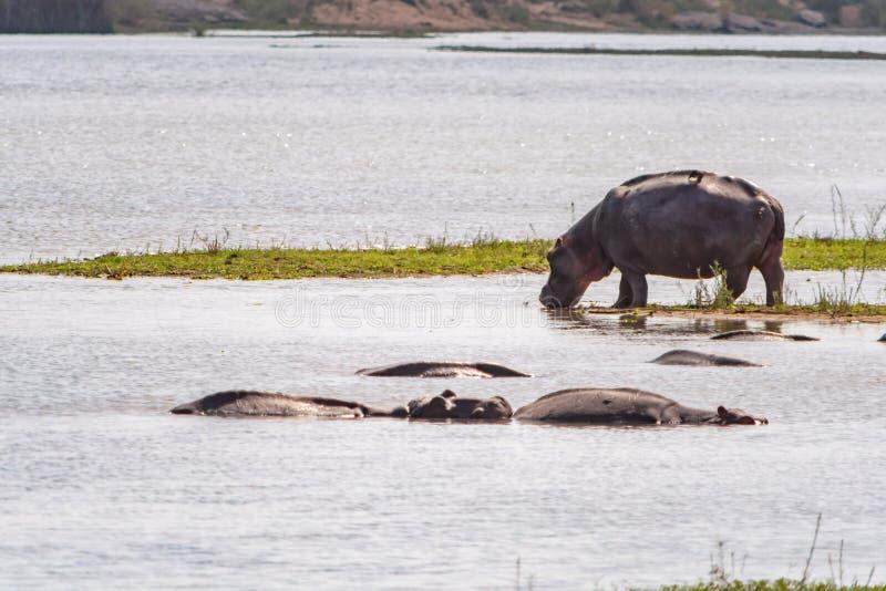 河马在克鲁格国家公园,南非 库存图片