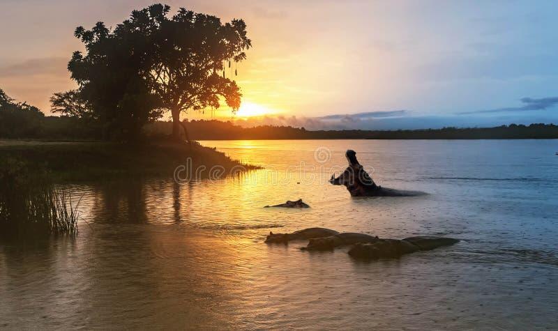 河马在日出的尼罗河在默奇森秋天 图库摄影