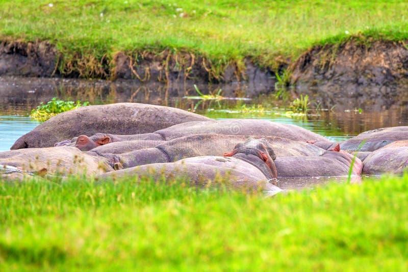 河马或河马amphibius 免版税库存图片