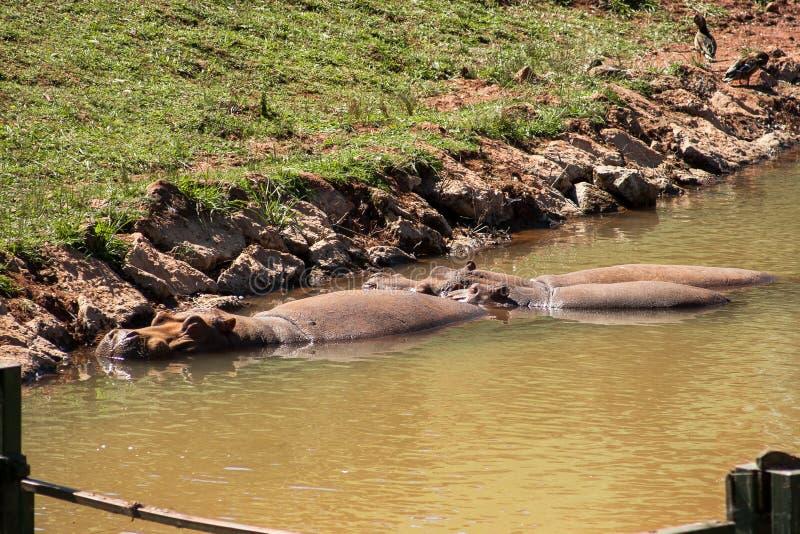 河马河马享用水的amphibius家庭,刷新被夏天热 免版税库存图片