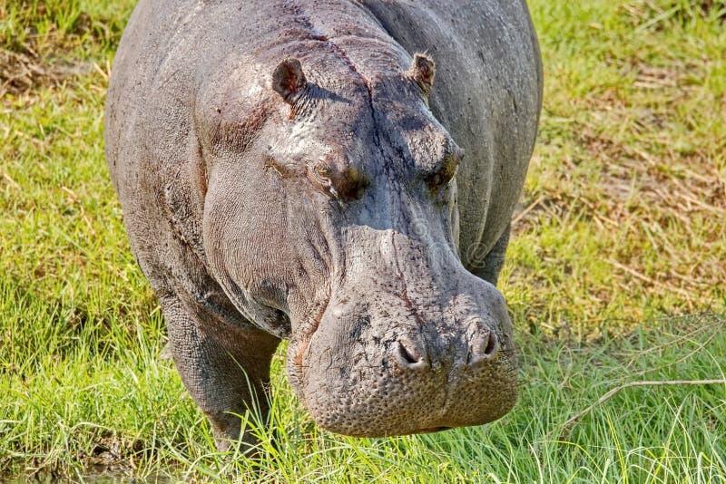 河马的画象 河马,从古希腊'河马'是主要一只大,食草哺乳动物在非洲 库存照片