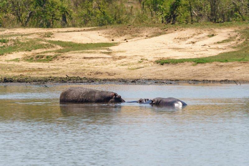 河马(;河马amphibius);在南非 免版税图库摄影