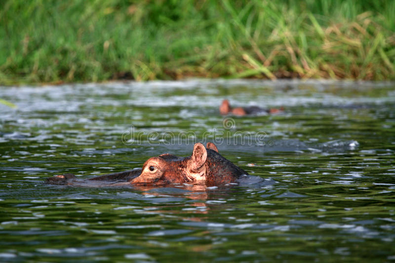 河马- Murchison下跌NP,乌干达,非洲 库存照片