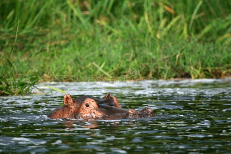 河马- Murchison下跌NP,乌干达,非洲 免版税库存图片