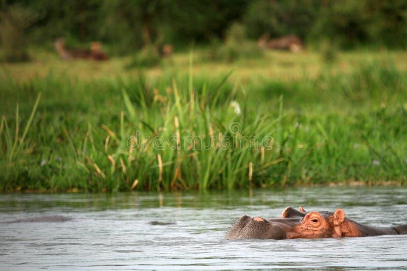 河马- Murchison下跌NP,乌干达,非洲 库存图片