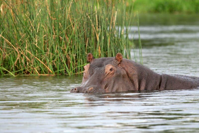 河马- Murchison下跌NP,乌干达,非洲 免版税图库摄影