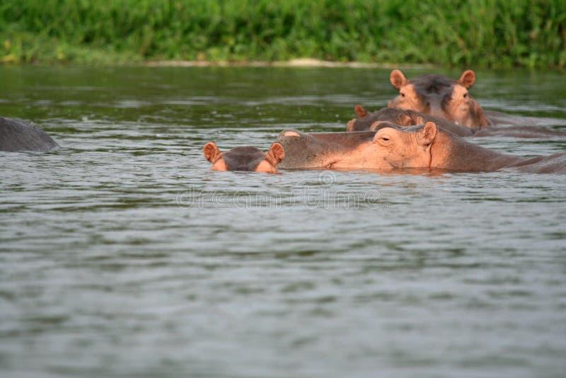 河马- Murchison下跌NP,乌干达,非洲 免版税库存照片