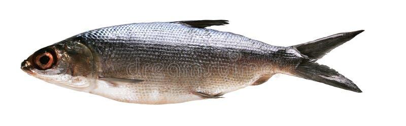 河鱼 免版税库存图片