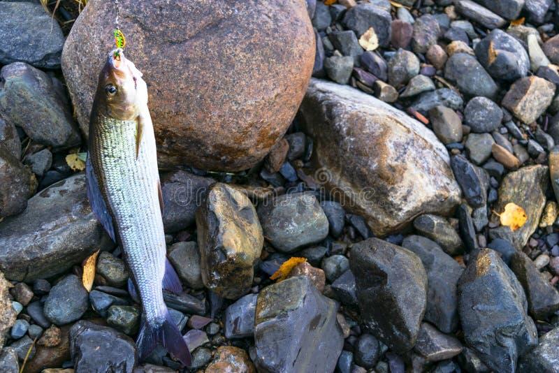 河鳟捉住了用假蝇钓鱼滑车 发布一个北极河鳟的钓鱼者 河鳟在锭床工人鱼捕获由渔夫 酷寒北风 免版税库存图片