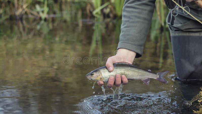 河鳟被捉住的用假蝇钓鱼 库存图片