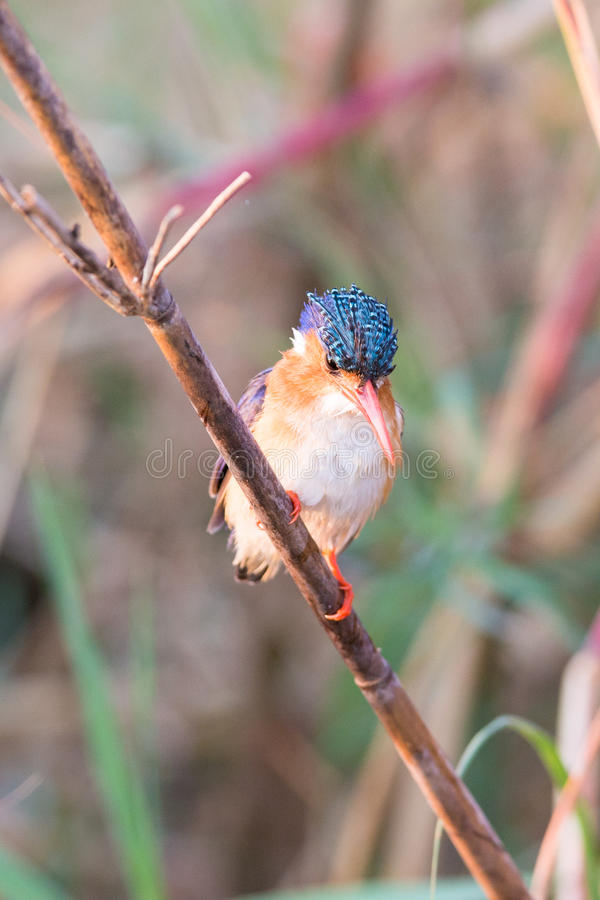 绿沸铜翠鸟有五颜六色的背景 免版税库存图片