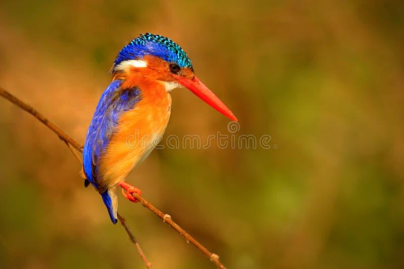 绿沸铜翠鸟,翠鸟属cristata,异乎寻常的非洲鸟细节坐分支在绿色自然栖所,博茨瓦纳, Afri 免版税库存照片