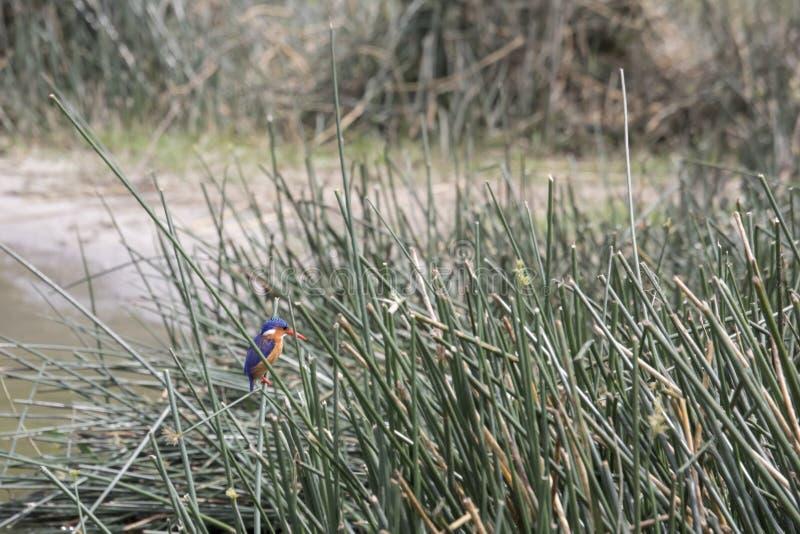 绿沸铜翠鸟, Kazinga海峡,女王伊丽莎白国民 库存图片