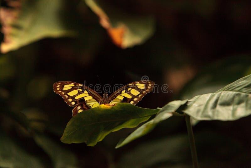 绿沸铜蝴蝶, Siproeta stelenes 库存照片
