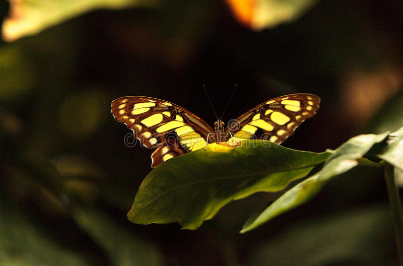 绿沸铜蝴蝶, Siproeta stelenes 图库摄影