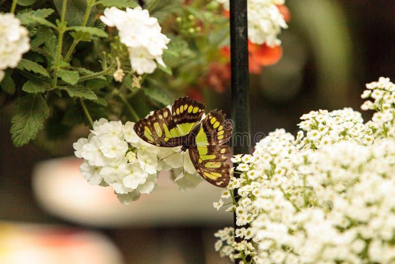 绿沸铜蝴蝶, Siproeta stelenes 库存图片