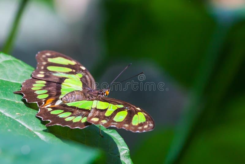 绿沸铜蝴蝶 库存图片