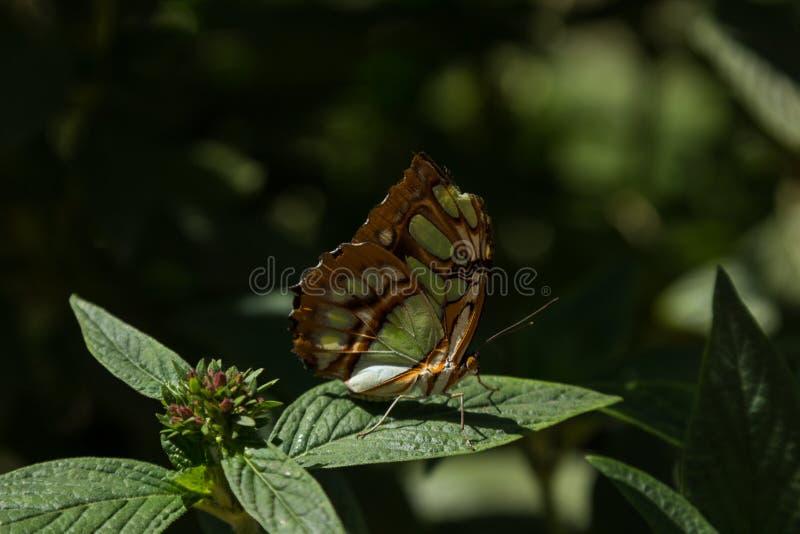 绿沸铜蝴蝶 图库摄影