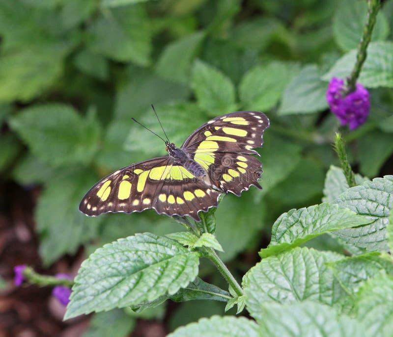 绿沸铜蝴蝶 库存照片