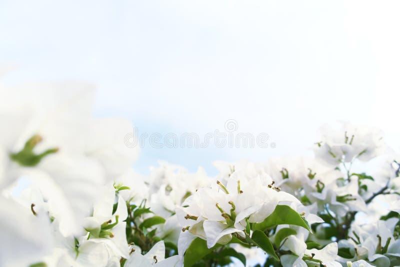 油桐属蒙大拿白色 免版税库存图片
