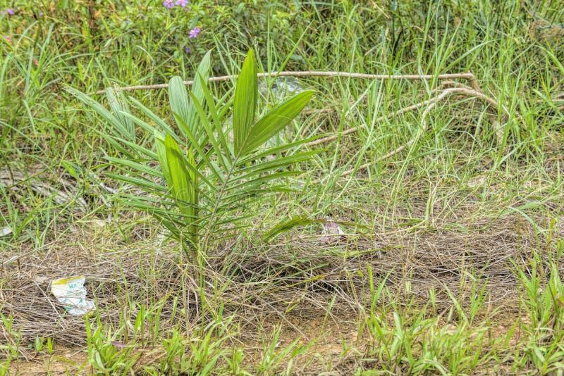 油棕榈树幼木领域 免版税库存图片