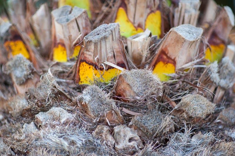 油棕榈树树身体  被切开的棕榈,在老部分的转折的爱好者类型表面与被削减的叶子分支区域  免版税库存照片