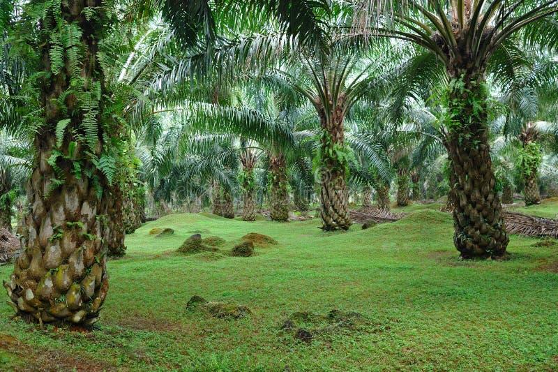 油棕榈树种植园 库存图片