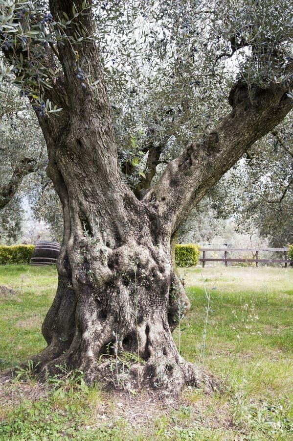 油橄榄栽培与持久树 免版税库存照片