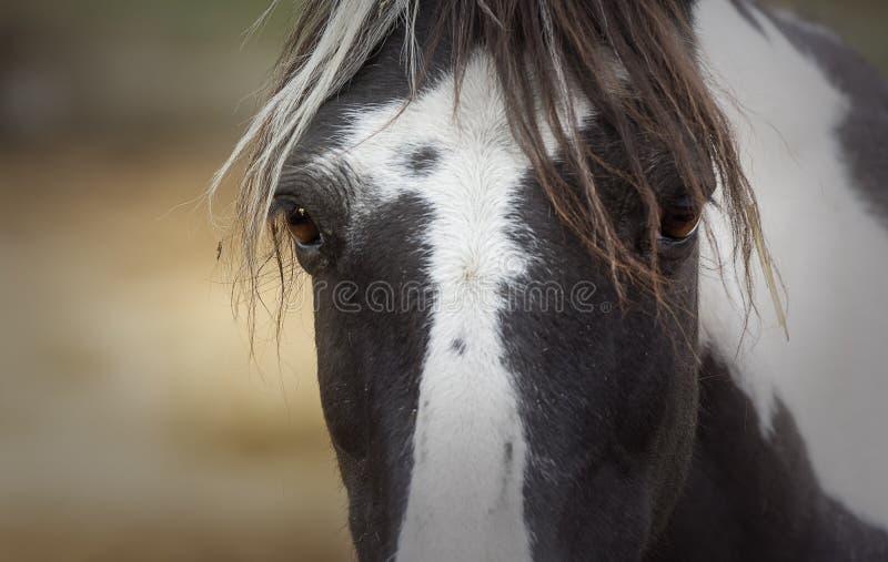 油漆小马的惊人的神色的前景 免版税库存照片