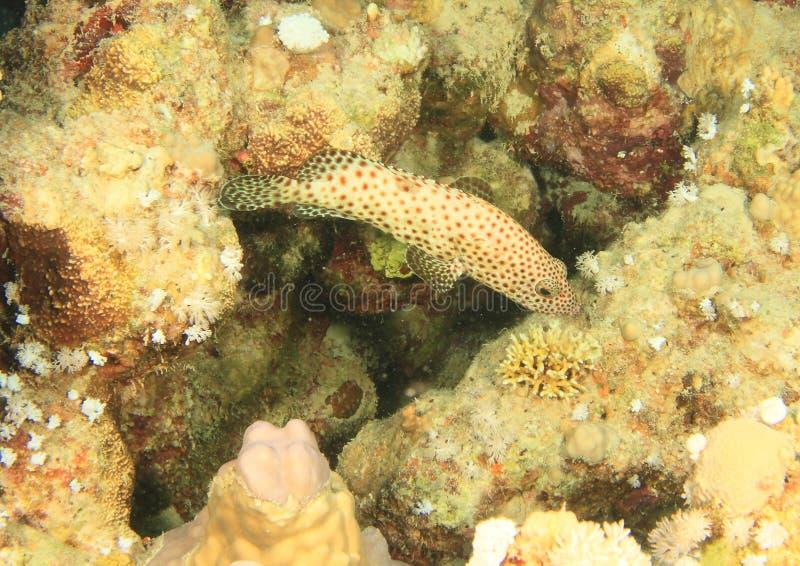 油腻石斑鱼 图库摄影
