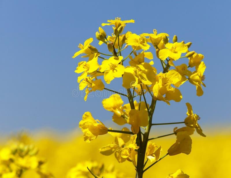 油菜籽油菜或菜子领域在拉丁芸苔Napus 免版税图库摄影