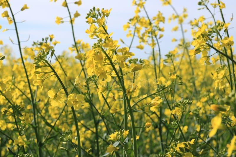 油菜籽特写镜头的美丽的花在被弄脏的背景的 免版税库存图片