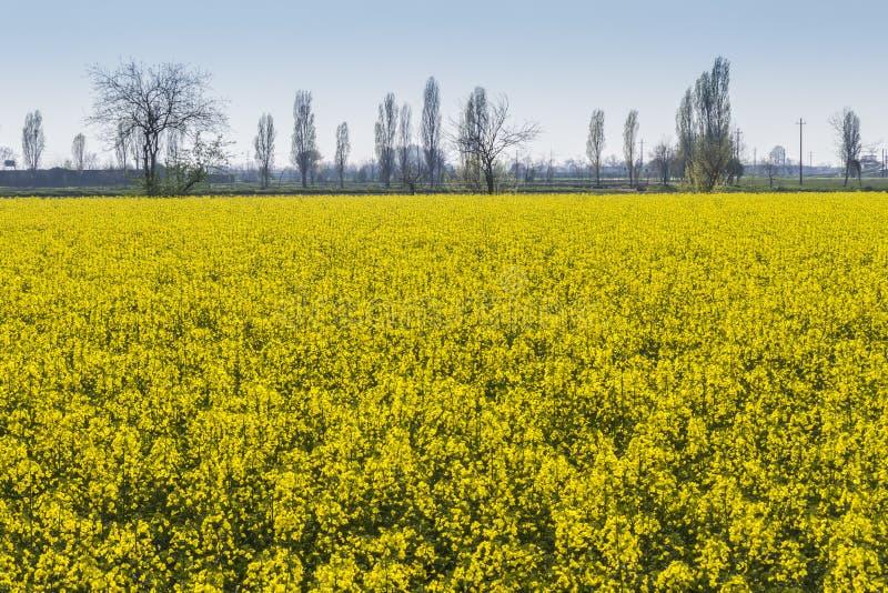 油菜籽的开花的领域 图库摄影