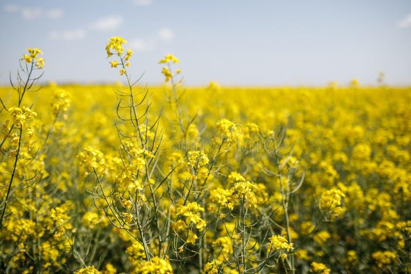 油菜籽的领域与美丽的云彩-绿色能量的植物的 免版税库存照片