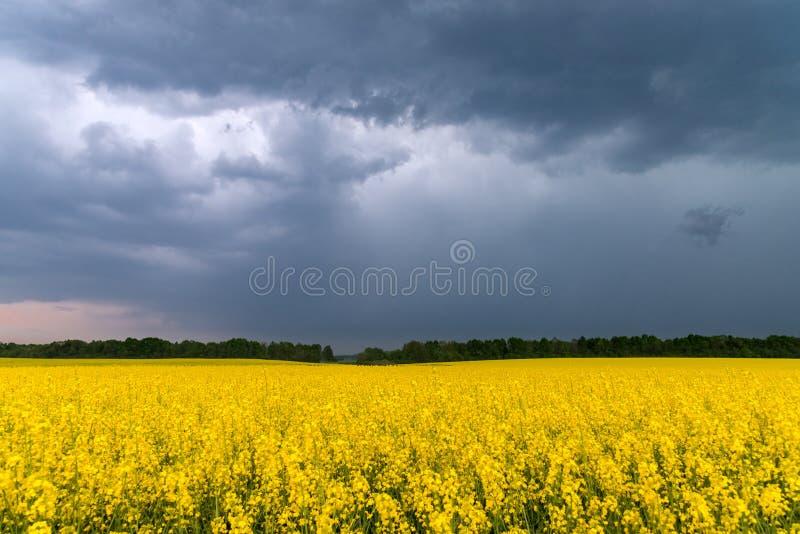 油菜籽的领域,在天空下充满风雨如磐的云彩 免版税库存图片