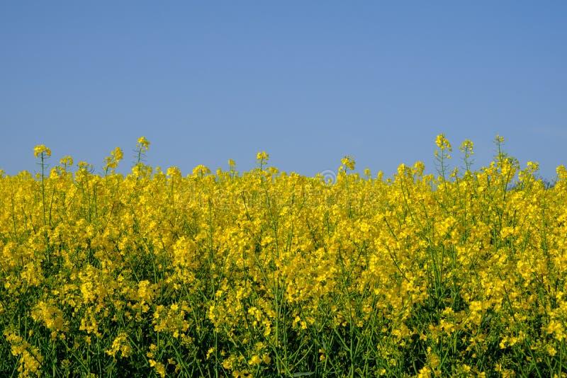 油菜籽花和天空蔚蓝 免版税图库摄影