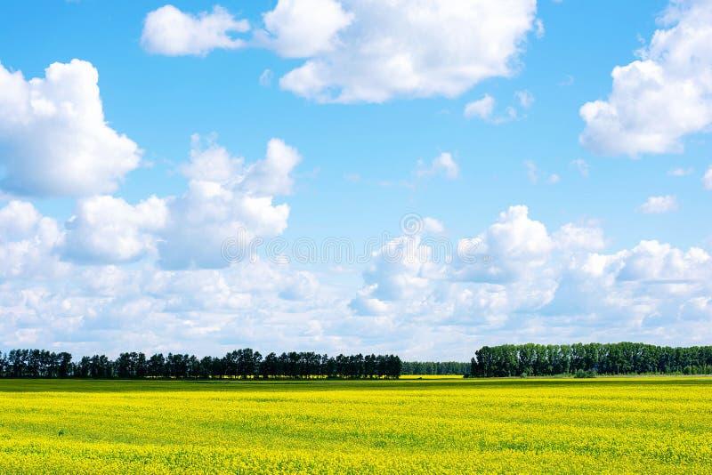 油菜籽花田 花的黄色领域与天空蔚蓝的在春天或夏天 库存照片