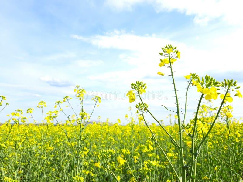 油菜籽领域在多布罗加 库存照片