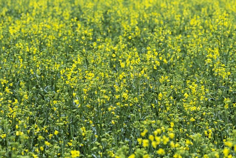 油菜籽领域,开花的油菜花紧密  在领域的强奸在夏天 库存图片
