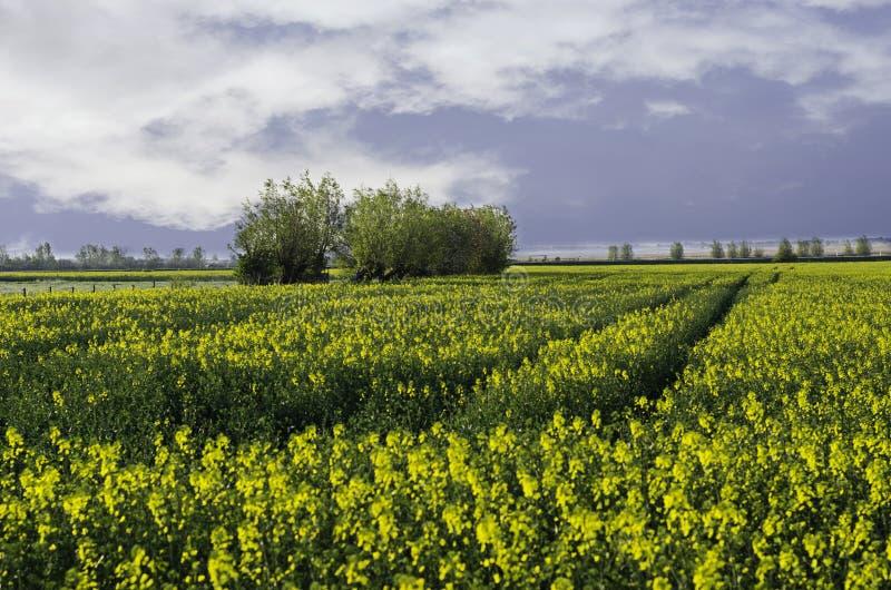 油菜籽领域-剧烈的天空 免版税库存图片