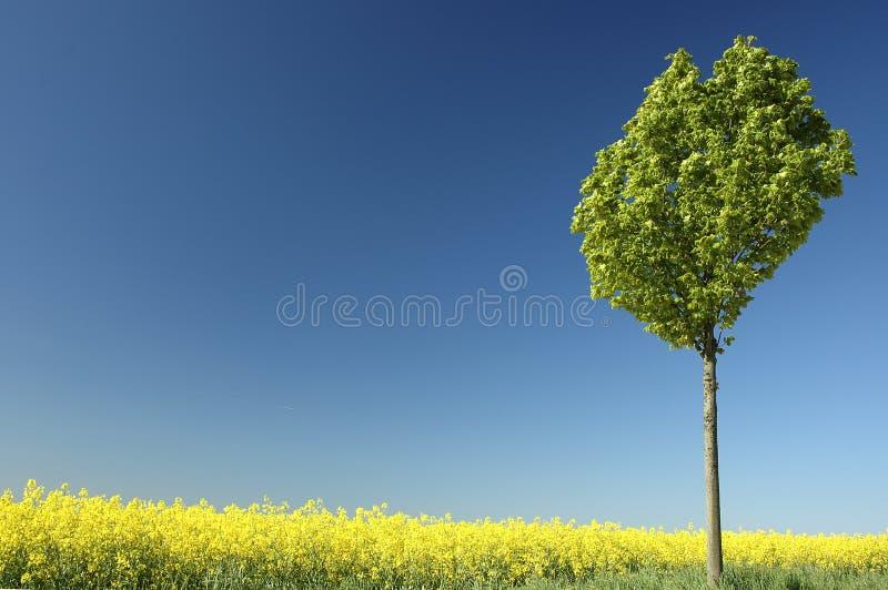 油菜籽 免版税库存图片
